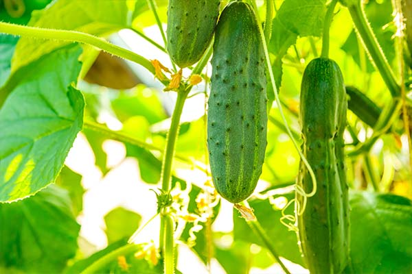 تفاوت کالری خیار گلخانه و مزرعه